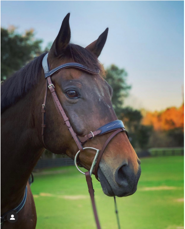 Beautiful Brown with Blue accent bridle and web reins